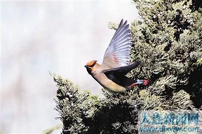 西府海棠果实是鸟的美食