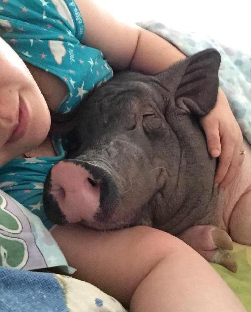 出了赖床照.在图片中,一只黑白花色猪窝在被子中,睡眼惺忪,两只