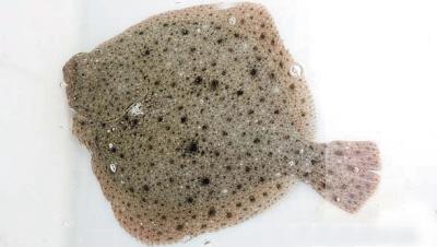 白鲽鱼冒充大偏口左口鱼假扮多宝鱼