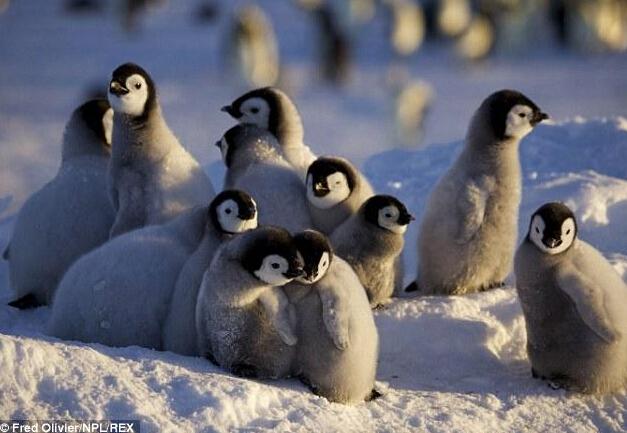 南极洲上演温情帝企鹅日记