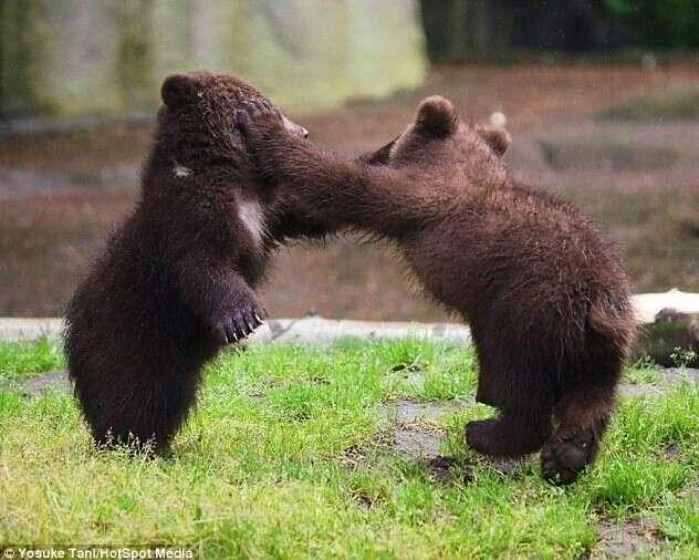 摄影师抓拍两只小熊打架