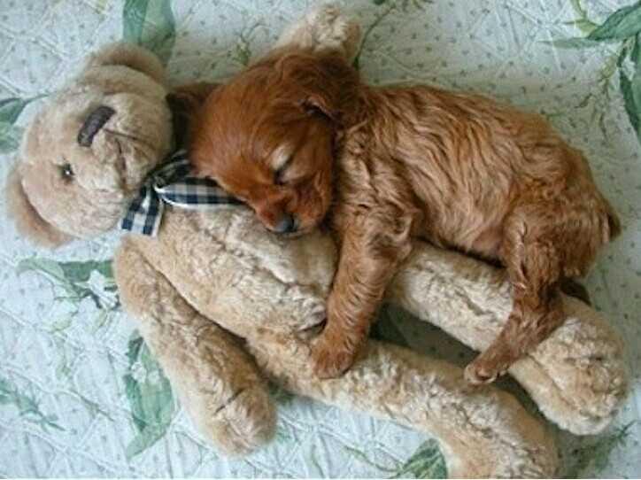 可爱狗狗抱玩偶酣睡萌照