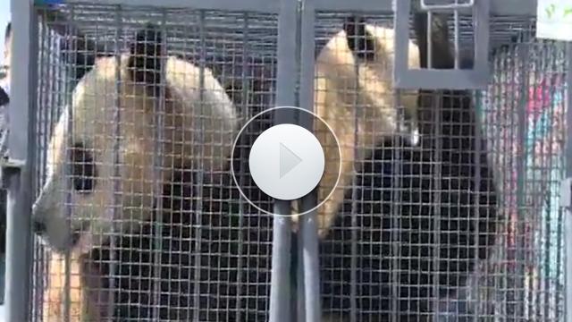 四只熊貓今天抵沈 十天後與觀眾見面