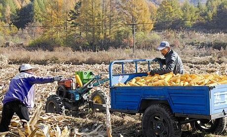 大連地區大田玉米收割已經接近尾聲