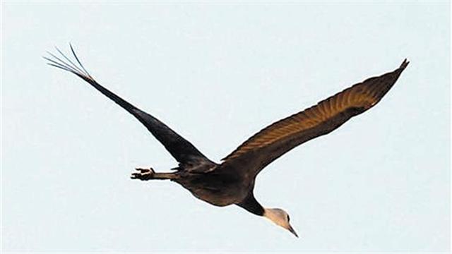 老鐵山首現國家一級保護鳥類白頭鶴