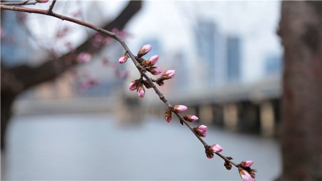 【视频】桃花映春来 航拍北国春天
