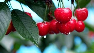 全國首個預報櫻桃成熟期氣象産品在大連發布