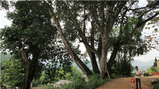 遼寧現有百歲以上古樹名木2.9萬株
