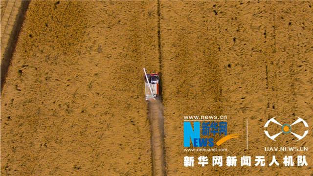 金秋時節水稻收割忙