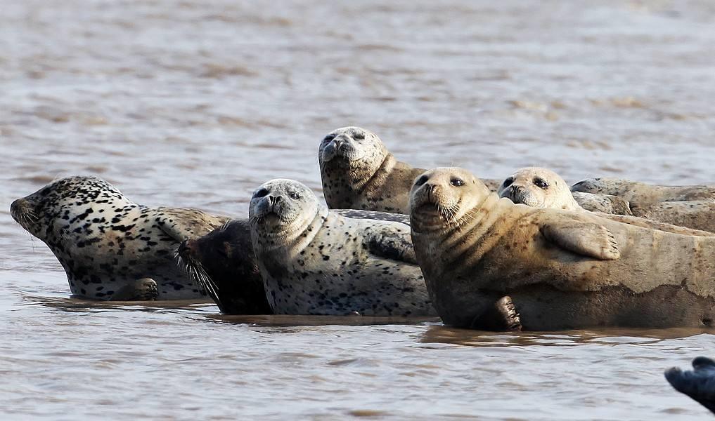 辽东湾斑海豹_【视频】两只斑海豹现身北戴河