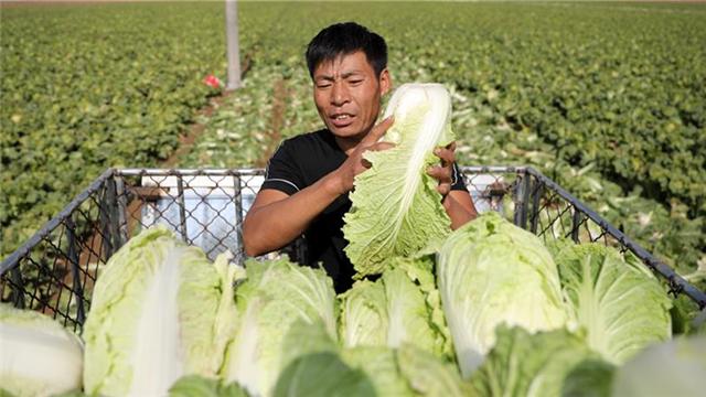 遼寧海城:白菜收獲忙
