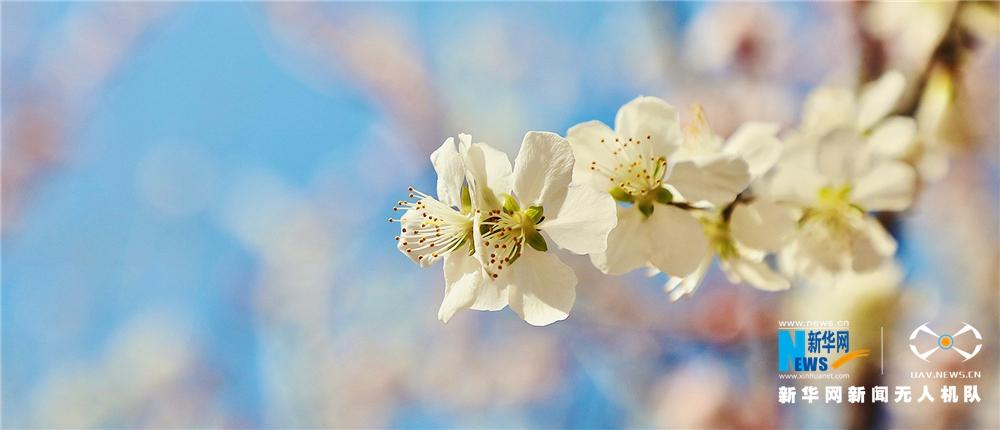 春風送暖 桃花盛開