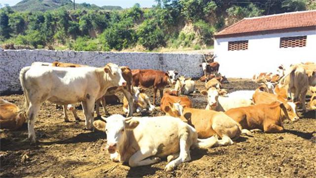 貧困村有了養牛場