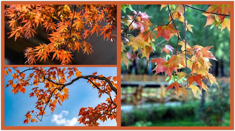 """這些""""楓""""景,驚艷了秋天!"""