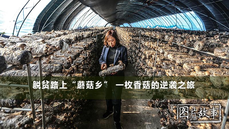 """脫貧路上""""蘑菇鄉"""" 一枚香菇的逆襲之旅"""