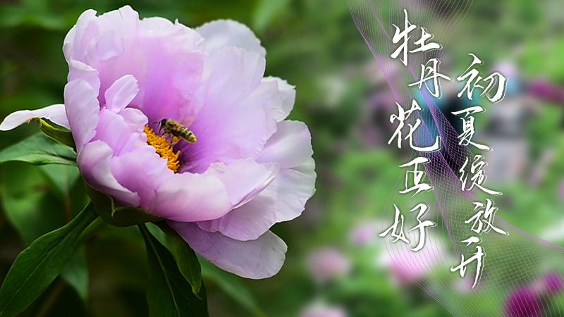 牡丹花正好 初夏綻放開