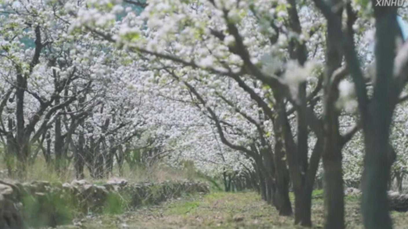 """【""""飛閱""""中國】北鎮梨花開 滿目香雪海"""